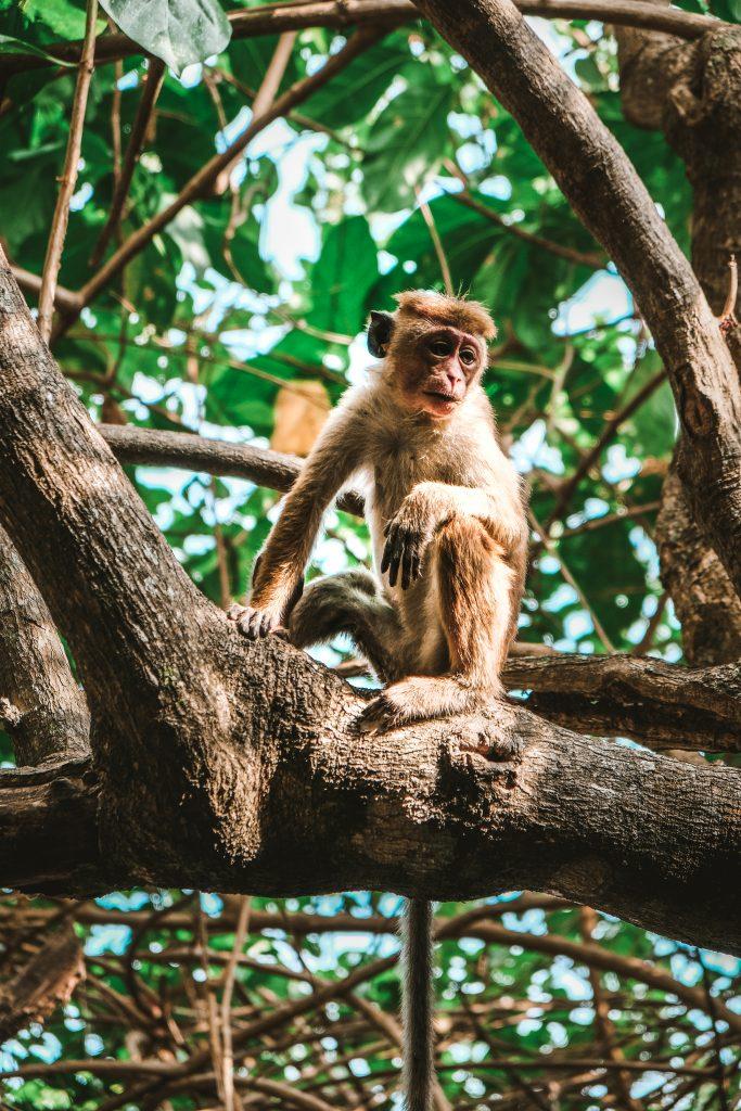 monkeys in talalla