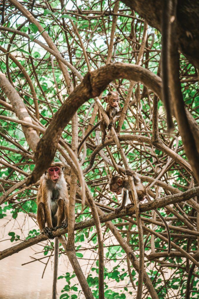 monkey family in sri lanka accommodation