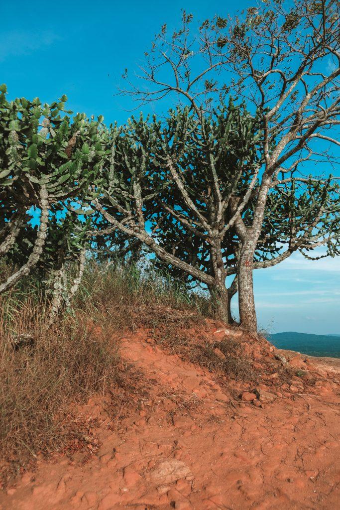 cactus trees on top of pidurangala rock