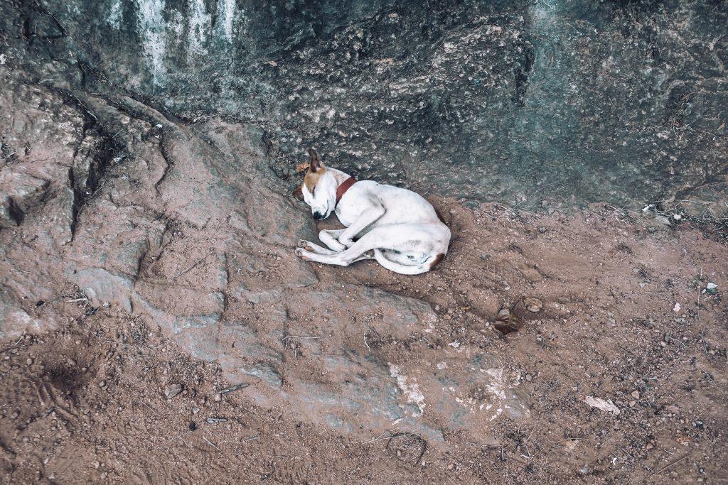 dog resting in sri lanka