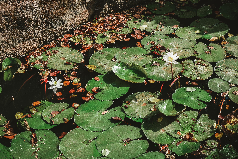 lion rock lake lilies