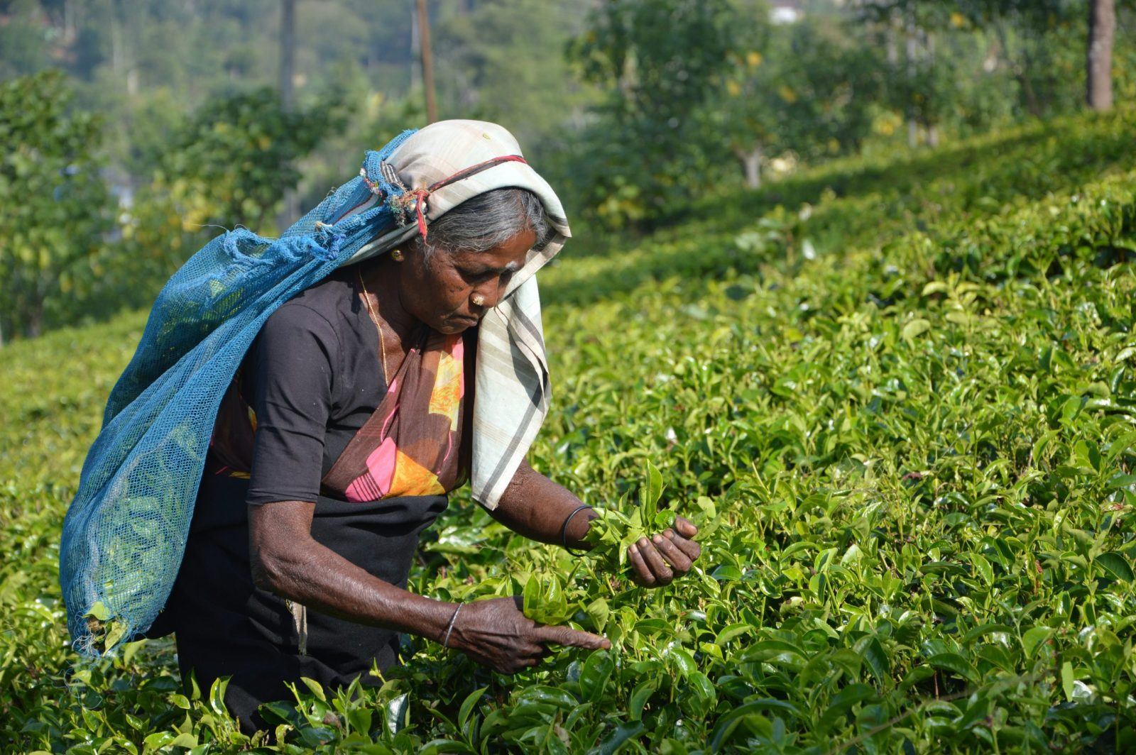 sri lankan woman on tea plantation