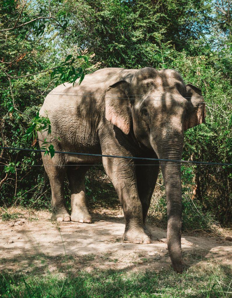 elephant near the road sri lanka