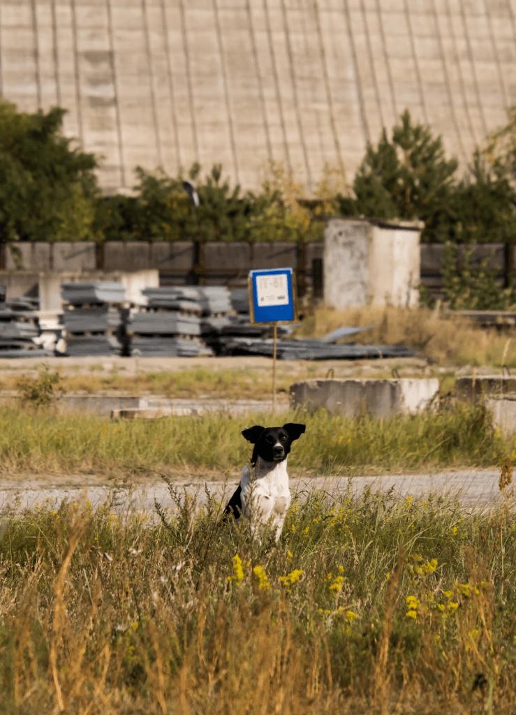 lonely dog in chornobyl