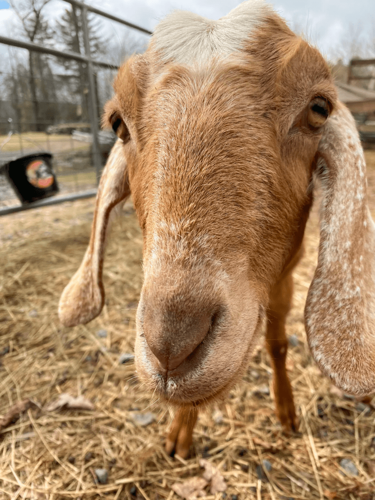 rescue goats online experience