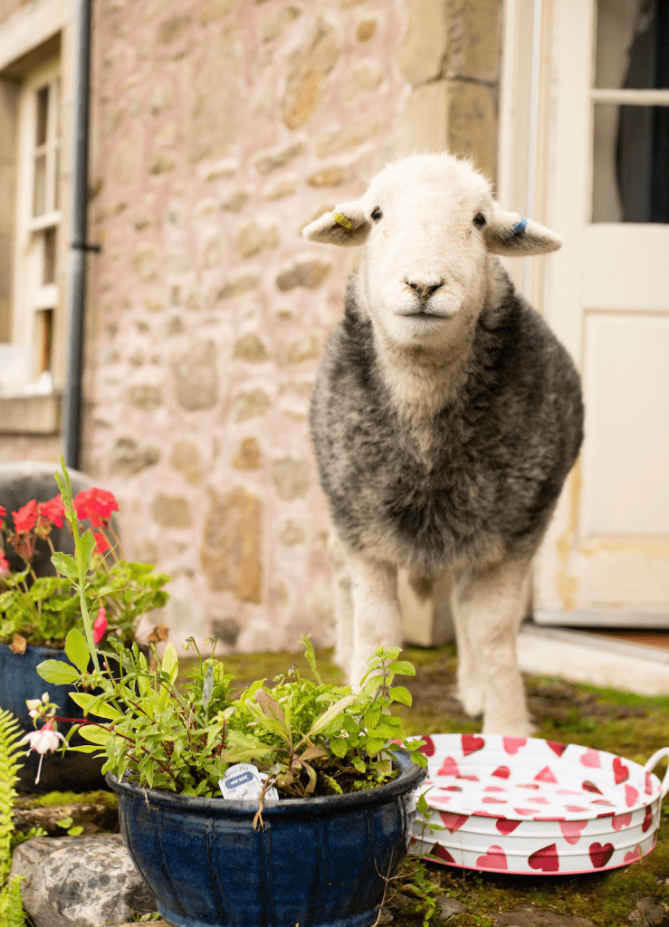 online guided meditation experience with sheep from British culture