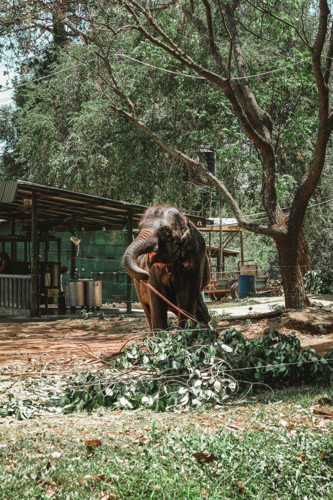 elephant eating leaves sri lanka