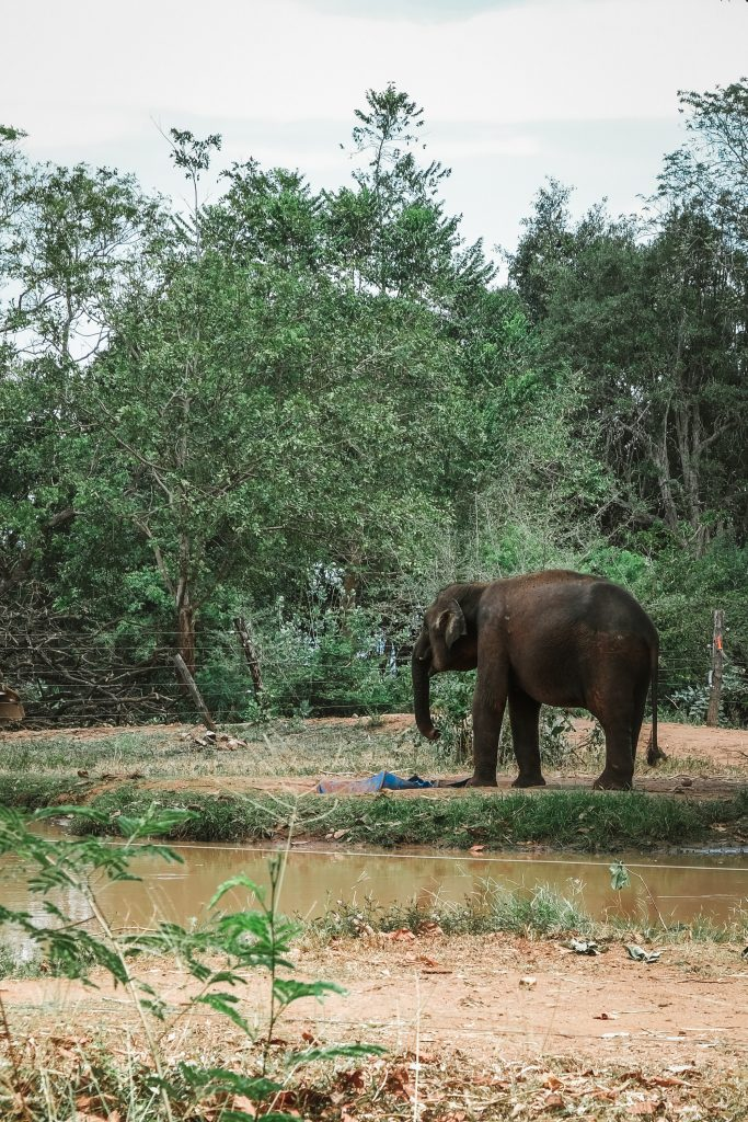 introverted elephant walking around by itself