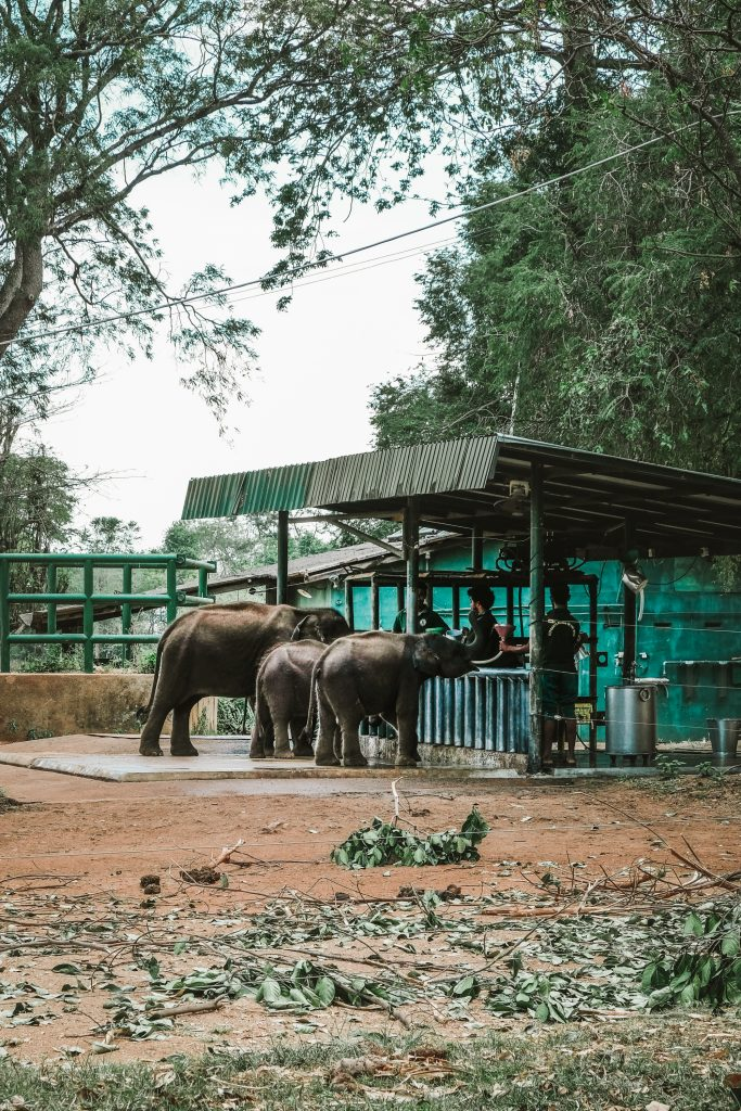 feeding time in elephant sanctuary transit home sri lanka
