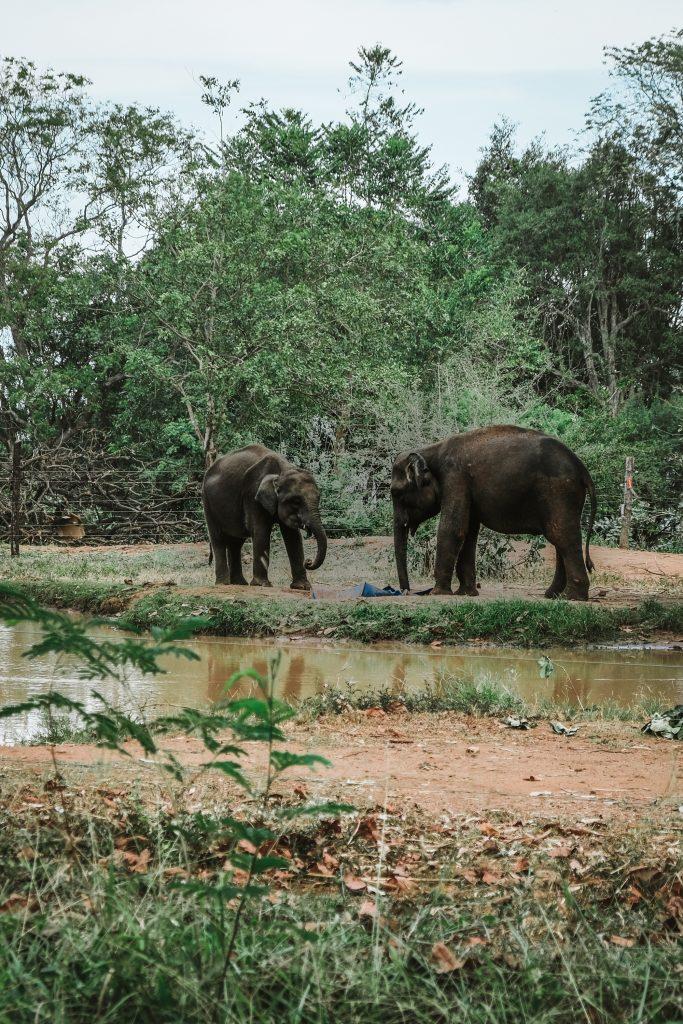 happy elephants in ethical sanctuary sri lanka