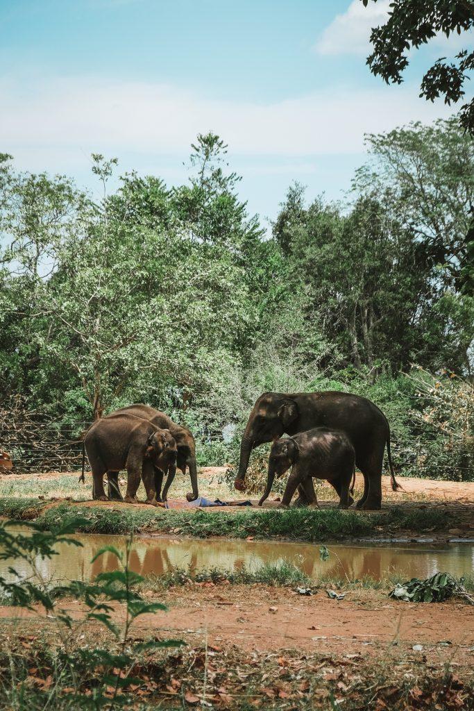 elephant family in sri lanka