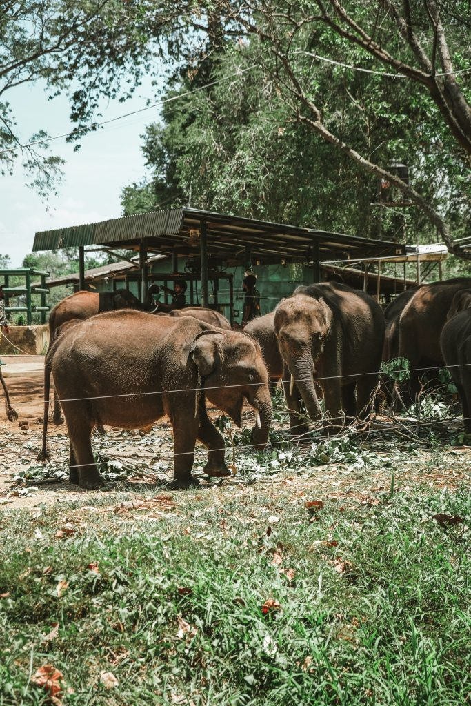 cute elephant calves in elephant transit home sri lanka
